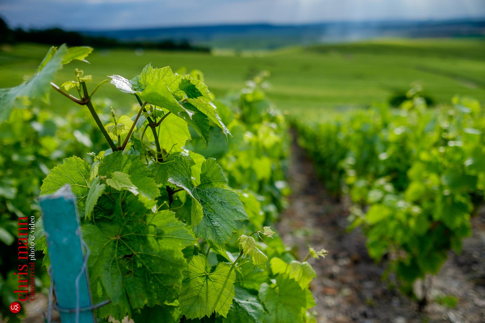 close-up of vines in Champagne vineyards near Reims Picardy France